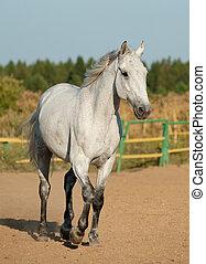 grå, häst