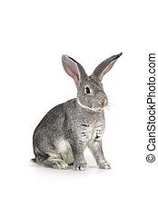 grå, kanin