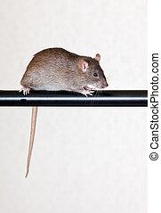 grå, råtta, hus