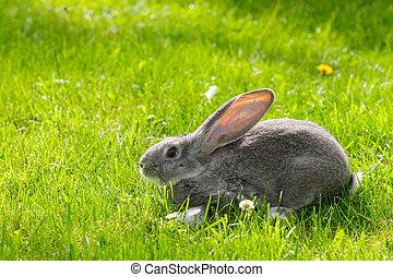 gråne, kanin, ind, grønnes græs