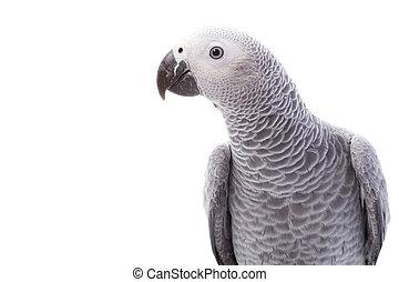 gråne, papegøje, afrikansk
