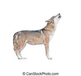 gråne ulv, suse, isoleret