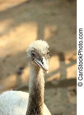 größer, rhea, vogel, in, thailand, zoo