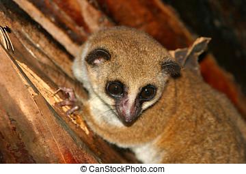 größer, zwerg, lemur
