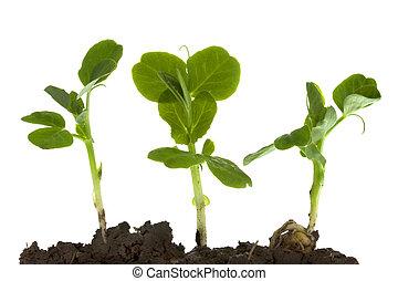 grön ärt, gro, och, växande