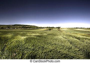 grön, blåsigt, korn, dag