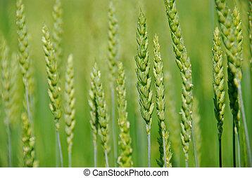grön, korn, växande