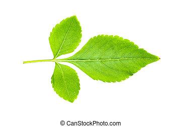 grön leaf, isolerat, vita, bakgrund, med, snabb bana