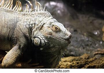 grön leguan, eller, allmän leguan, (iguana, iguana), är, a,...