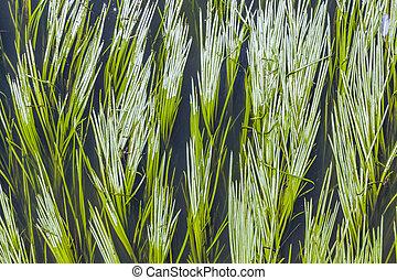grön, vass, in, den, flod