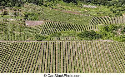 grön, vingårdar, hos, den, flod, mosel, in, sommar
