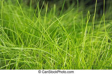 grönt gräs, fält, in, den, morgon