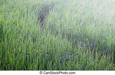 grönt gräs, med, morgon, dagg