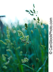 grönt smyger, av, gräs, in, den, morgon, lätt