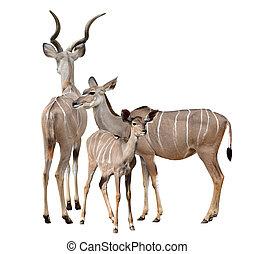 grösseres kudu