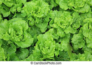 grøn lettuce, mængder, ind, tilvækst, hos, grønsag have