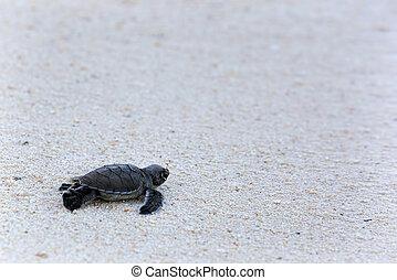 grøn skildpadde, hatchlings
