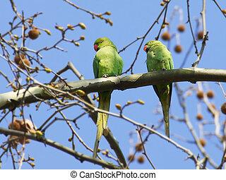 grønne, papegøjer, to, branch