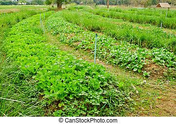grønsager, felt, ind