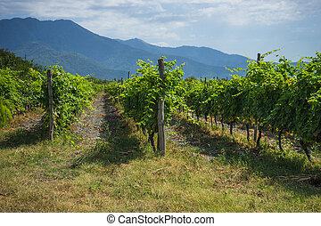 grúz, bor, terület, kakheti