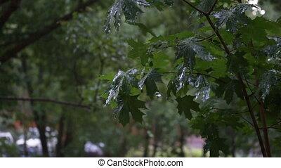 grün, ahorn, zweige, unter, der, fallenden regen