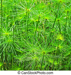 grün, blatt,  Papyrus