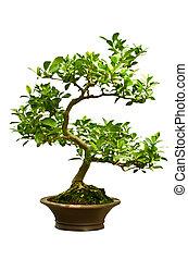 grün, bonsai baum