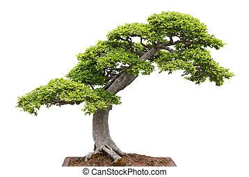 grün, bonsai baum, weiß, hintergrund