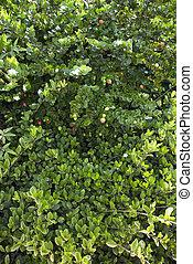 grün, busch, üppig, jasmin