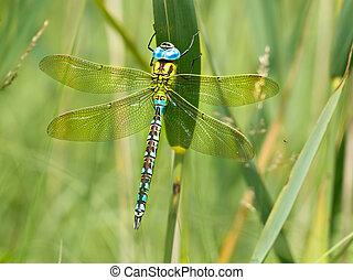 grün, hausierer, libelle, ruhen, a, blatt