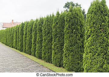 grün, hecke, von, thuja, bäume., grün, hecke, von, der, tui, baum., natur, hintergrund.