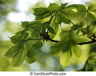 grün, kastanie, blätter, in, schöne , licht