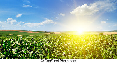 grün, mais feld, und, hell, sonnenaufgang, auf, blaues, sky., breit, photo.