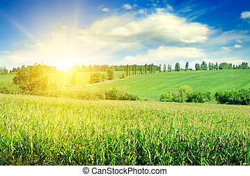 grün, mais feld, und, hell, sonnenaufgang