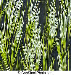 grün, schilfgras, in, der, fluß