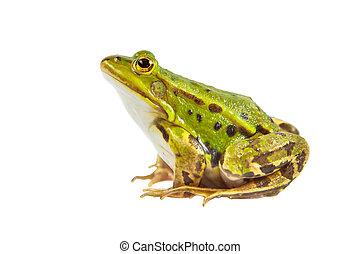 grün, teich, frosch, mann