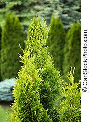 grün, thuja, baum, in, kleingarten