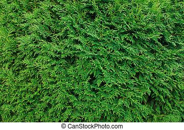 grün, thuja, blätter, hintergrund, winter- baum, und, weihnachtsbaum, concept.