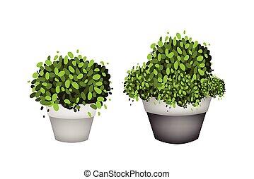 grüne bäume, in, terracotta, blume topft, weiß, hintergrund