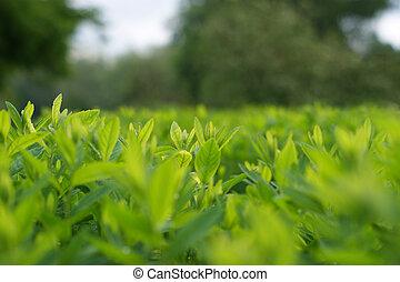 grüne blätter, hintergrund