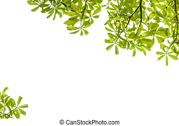 grüne blätter, weiß, hintergrund