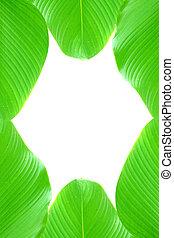 grüne blätter, weiß, hintergrund.