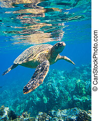 grüne meeresschildkröte, schwimmender, in, wasserlandschaft,...