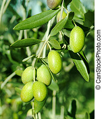 grüne oliven, auf, a, baum