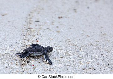 grüne schildkröte, hatchlings