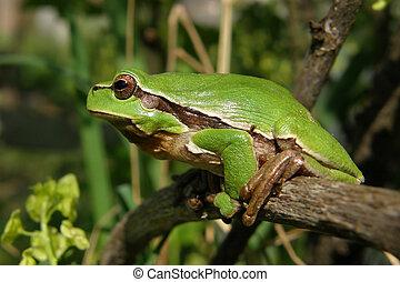 grüner frosch, hyla, arborea