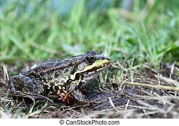 grüner frosch, in, der, gras