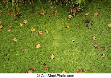 grüner hintergrund, von, a, entengrütze, auf, der, sumpf
