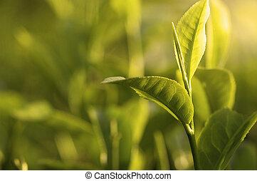 grüner tee, blatt, früher morgen, mit, strahl, von, lichter