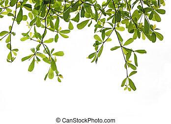 grünes blatt, freigestellt, weiß, hintergrund